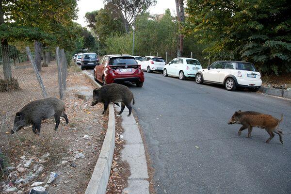 Durante l'estate gli animali sono stati fotografati vicino la Farnesina, nel sobborgo di Monte Mario vicino allo Stadio Olimpico. - Sputnik Italia