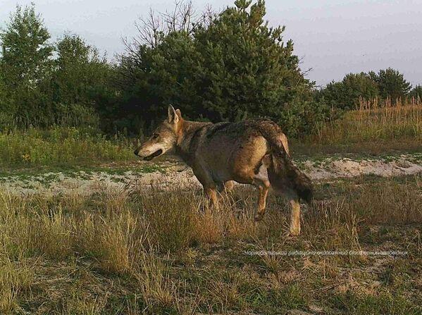 Nel 2015, gli scienziati avevano individuato per la prima volta che animali come il lupo grigio erano presenti in abbondanza nella zona di esclusione e, in particolare, entro poco più di 1,5 chilometri quadrati dalla centrale. - Sputnik Italia