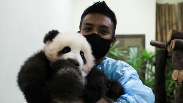 Сотрудник зоопарка с пандой в Национальном зоопарке в Куала-Лумпуре, Малайзия - Sputnik Italia