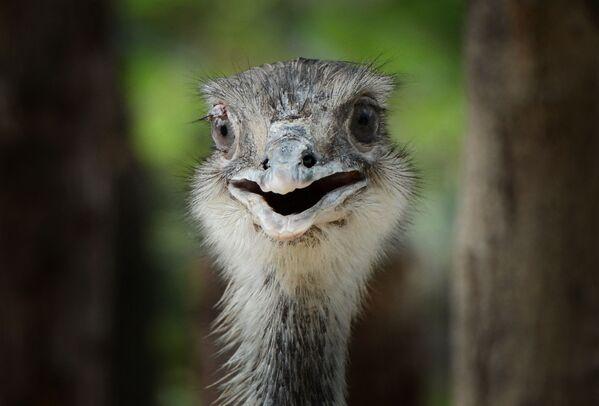 Un Emu osserva il complesso di animali australiani nello zoo di Pechino - 22 maggio 2012.  - Sputnik Italia