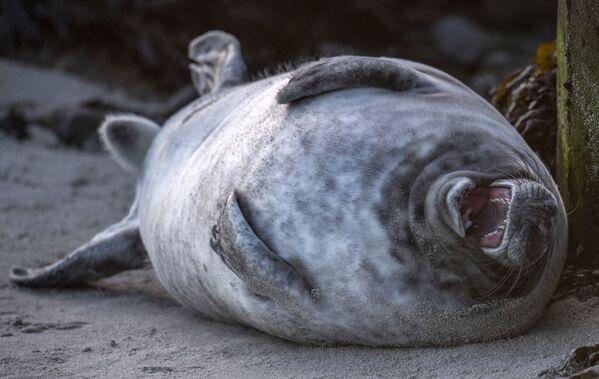 Un foca grigia si rotola sulla schiena sulla spiaggia dell'isola di Helgoland, nel Mare del Nord, in Germania - 4 gennaio 2020. - Sputnik Italia