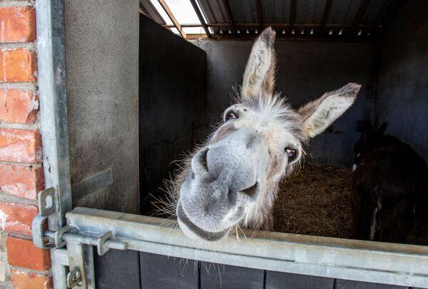 Un asino da salvataggio sbuca dalle stalle del Donegal Donkey Sanctuary a Castledooey, regione di Donegal, in Irlanda, mentre la nuova ondata di pandemia di coronavirus costringe a chiudere le sue porte ai visitatori - 5 giugno 2020. - Sputnik Italia
