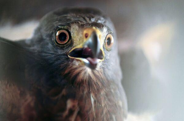 Un falco dopo il trapianto alle ali, presso la clinica veterinaria del Ministero dell'Ambiente, a San Salvador - 11 settembre 2020. - Sputnik Italia