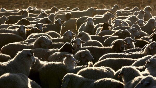 Стадо овец и коз возле семейной фермы в Тыве - Sputnik Italia