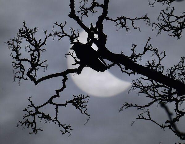 Un uccello arroccato su un ramo e sullo sfondo il disco solare coperto dalla Luna. - Sputnik Italia