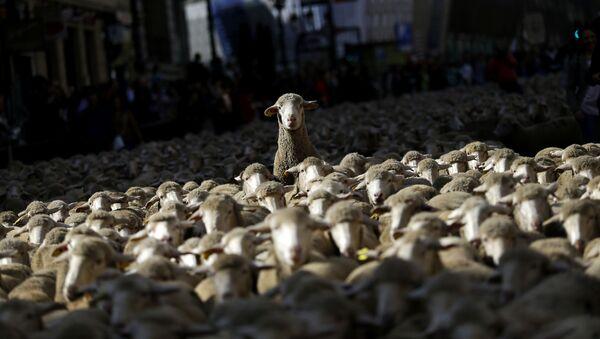 Un gregge di pecore - Sputnik Italia