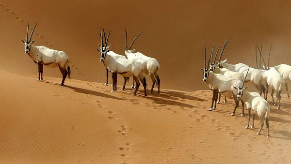 Аравийские ориксы в заповеднике аравийских ориксов в месте Умм Аль-Замуль на границе Омана и Саудовской Аравии  - Sputnik Italia