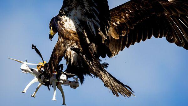 Aquila addestrata dalla polizia olandese per neutralizzare i piccoli droni - Sputnik Italia