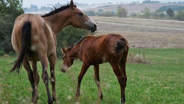 I cavalli nei pressi del villaggio Konstantinovka, Crimea. - Sputnik Italia