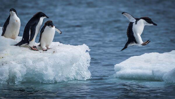 Пингвины Адели прыгают между льдинами - Sputnik Italia