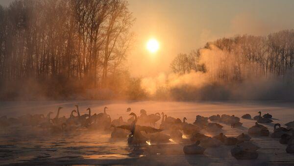 Swans on unfrozen Lake Svetloe in the state nature reserve Lebediny, Altai Territory - Sputnik Italia