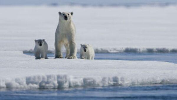 Una famiglia di orsi polari. - Sputnik Italia
