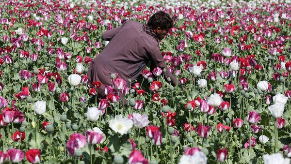 Droga, papaveri da oppio in Afghanistan - Sputnik Italia