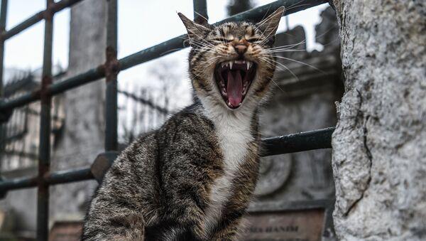 Зевающий кот в Стамбуле - Sputnik Italia