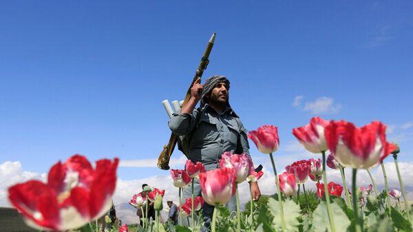 Distruzione di papaveri in Afghanistan - Sputnik Italia