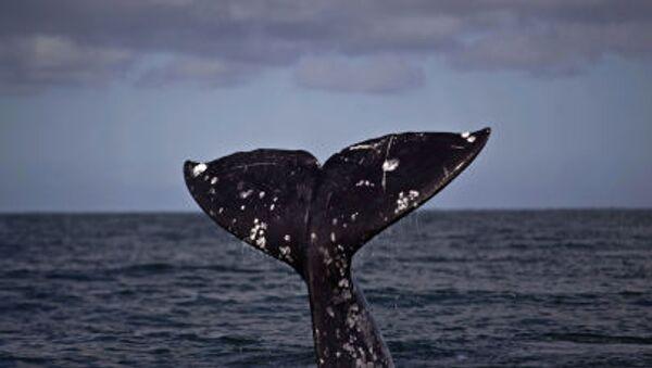 la coda di una balena - Sputnik Italia