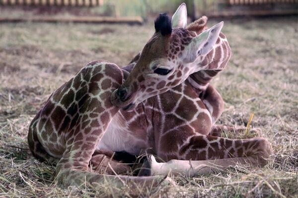 Un cucciolo della giraffa nello zoo di Kaliningrad. - Sputnik Italia