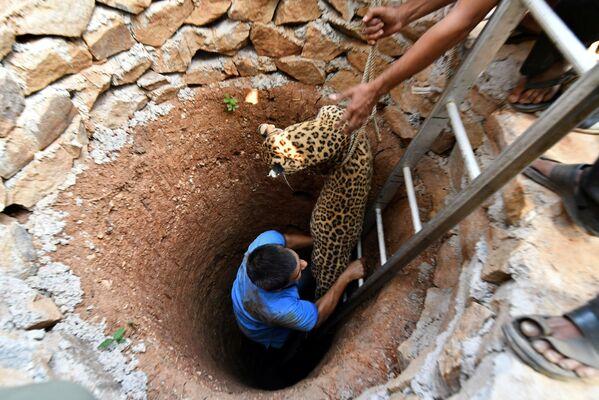 Il salvataggio del leopardo caduto nel pozzo nei pressi di Guwahati, India. - Sputnik Italia