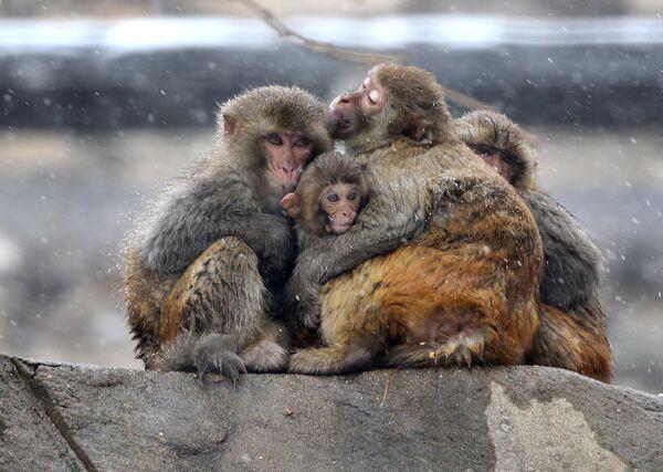 Scimmie si abbracciano durante una nevicata al monte Huaguo, Cina. - Sputnik Italia