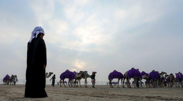 Il festival dei cammelli di Al' Dhafra negli Emirati Arabi Uniti - Sputnik Italia