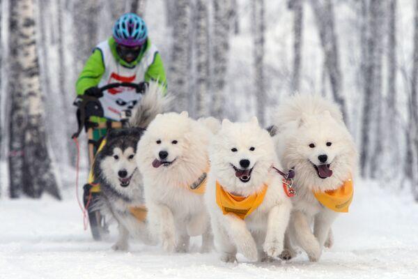 Una corsa con i cani a Novosibirsk, Russia. - Sputnik Italia