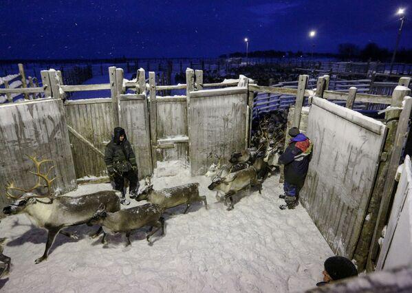 Allevamento di cervi e alci nel Nord russo - Sputnik Italia