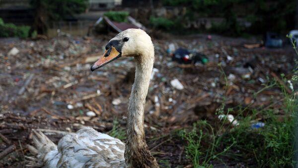 Un cigno ferito allo zoo inondato a Tbilisi. - Sputnik Italia