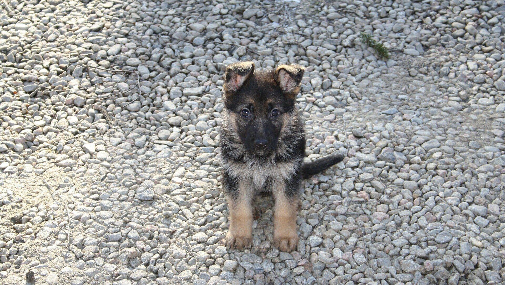 German Shepherd Puppy - Sputnik Italia, 1920, 23.02.2021