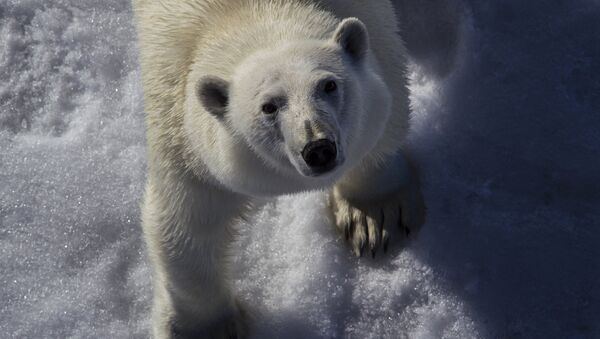 Polar bear - Sputnik Italia