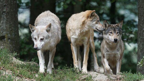 Wolves - Sputnik Italia