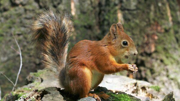 Uno scoiattolo - Sputnik Italia