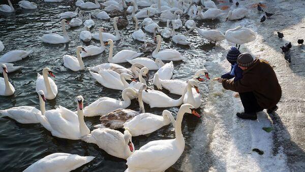 Swans in Baltiysk's harbor - Sputnik Italia