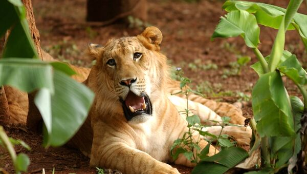 Liger named Ping Ping rests on the ground in the Hainan Tropical Wildlife Park in Haikou, capital of south China's Hainan Province. (File) - Sputnik Italia