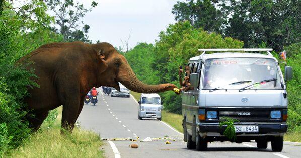I passanti in auto danno banane a un elefante in una strada di Sri Lanka. - Sputnik Italia
