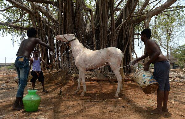 Un cavallo viene bagnato in India. - Sputnik Italia