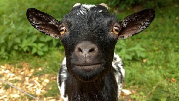 A goat - Sputnik Italia