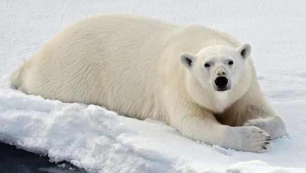 Un orso bianco nel Mar glaciale artico - Sputnik Italia