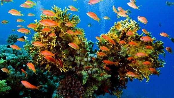 Barriera corallina - Sputnik Italia