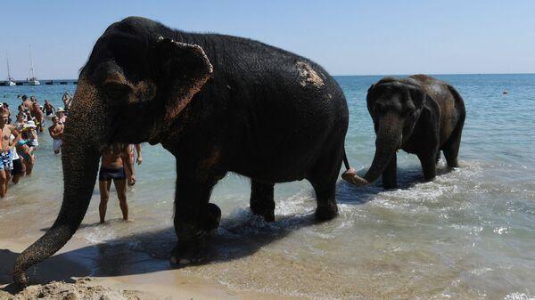 Gli elefanti Jenny e Magda, partecipanti allo show circense, ritornano sulla spiaggia dopo il bagno nel mare ad Eupatoria, Crimea. - Sputnik Italia