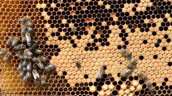 Produzione di miele in Baschiria - Sputnik Italia