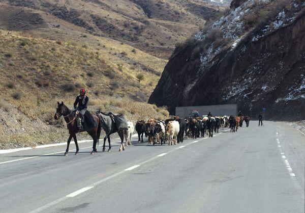 Un pastore con un gregge di mucche, Tagikistan - Sputnik Italia