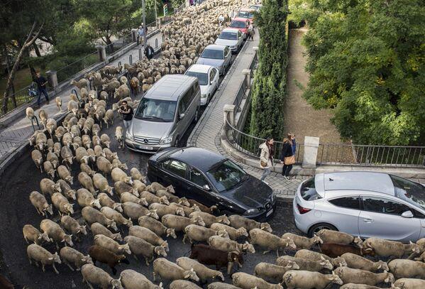L'annuale migrazione di pecore tra Madrid, Spagna. - Sputnik Italia