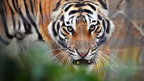 Tigre - Sputnik Italia