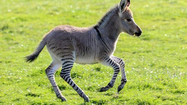 E' nato un cucciolo unico dopo l'accoppiamento di un asino e una zebra - Sputnik Italia