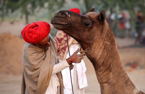 Un pastore rasa il suo camello alla fiera di camelli a Pushkar, India. - Sputnik Italia