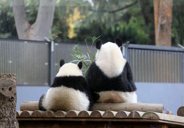 Panda femminile con la figlia in uno zoo di Tokyo. - Sputnik Italia