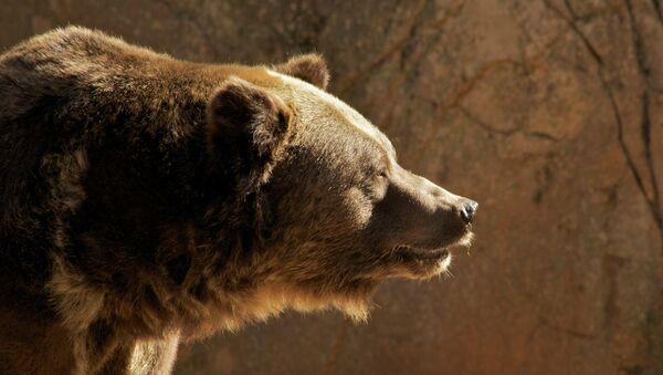 Grizzly Bear - Sputnik Italia