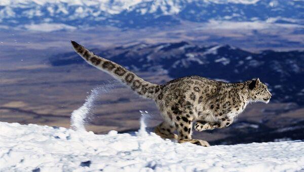 Un leopardo delle nevi - Sputnik Italia