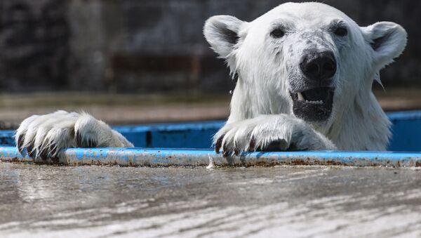 Белый медведь в центре воспроизводства редких видов животных Московского зоопарка в селе Сычево, Московская область - Sputnik Italia