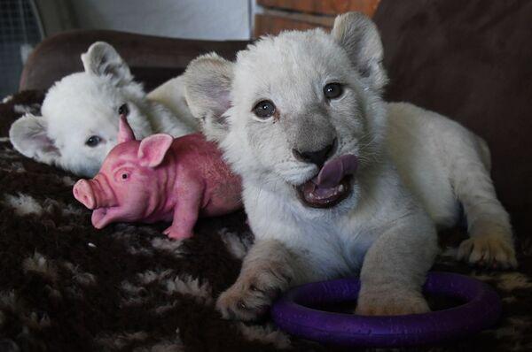 Cuccioli di leone bianchi allo zoo Sadgorod a Vladivostok, Russia. - Sputnik Italia